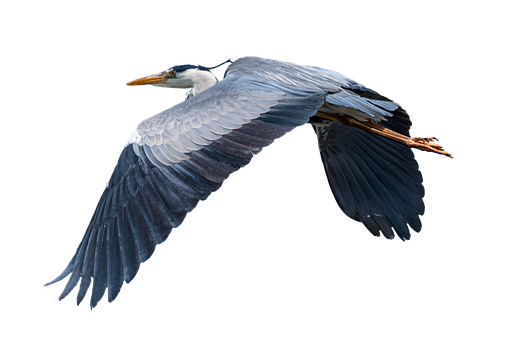 Grey Heron, Duck, Flying, Optional, Pen, Feathers