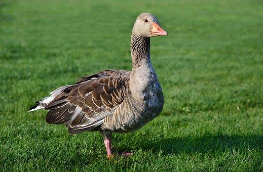 Greylag Goose, Goose, Bird, Meadow
