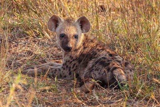 Spotted Hyena, Cub, Animal, Meadow, Hyena