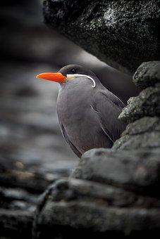 Inca Tern, Bird, Rock, Animal, Wildlife