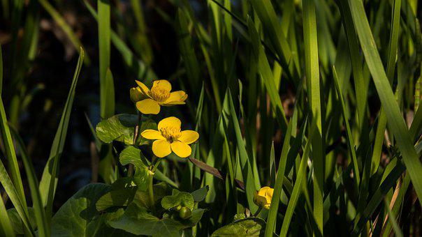 Marsh Marigold, Flowers, Plant, Kingcup, Yellow Flowers