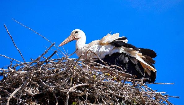 Stork, Bird, Nest, White Stork