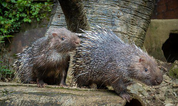 Hedgehogs, Animal, Nail, Prickly, Nature, Eating, Pet