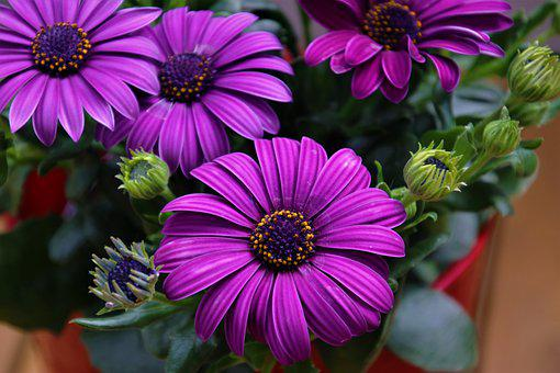 Gerberas, Flowers, Plant, Purple Flowers, Osteospermum