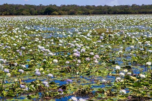 Water Lilies, Flowers, River, Swamp, Lotus, Bloom