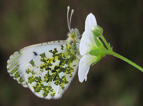 Orange-tip, Butterfly, Flower, Insect, Wings, Antennae