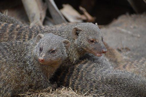Mongoose, Animals, Zoo, Wildlife, Mammals, Wild