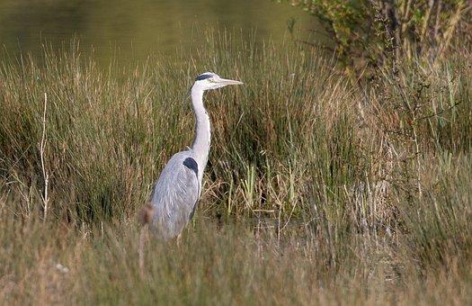 Blue Heron, Grey Heron, Heron, Closeup, Wildlife, Beak