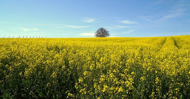 Rapeseed, Flowers, Field, Yellow Flowers, Plants