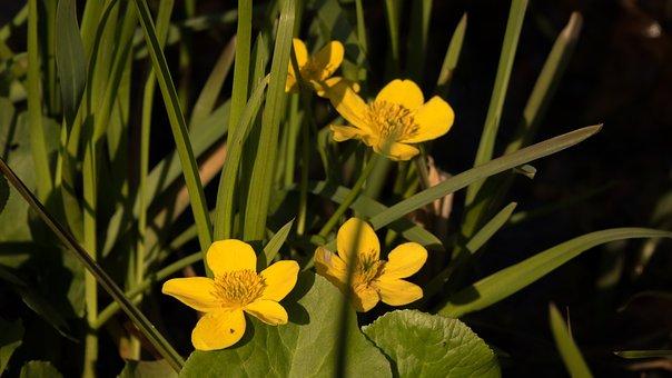 Spring, Marsh Plant, Grass, Flower, Yellow, Sunlight