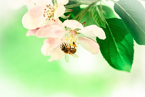 Bee, Apple Blossom, Flowers, Insect, Honey Bee