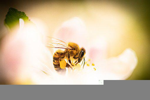 Bee, Apple Blossom, Flower, Honey Bee, Insect
