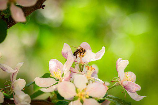 Bee, Apple Blossom, Flowers, Honey Bee, Insect