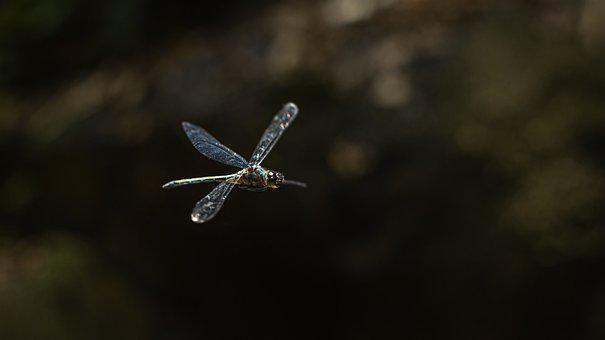 Dragonfly, Insect, Flying, Wings, Animal, Invertebrate