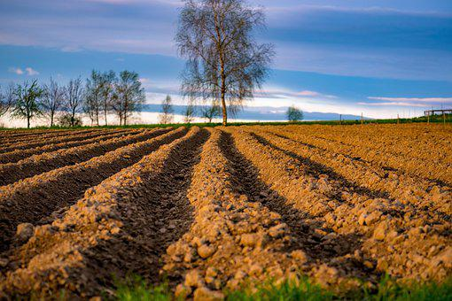 Field, Potatoes, Agriculture, Food, The Cultivation Of