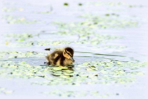 Duckling, Mallard, Bird, Chick, Water Bird, Swamp