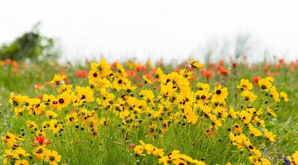 Coreopsis, Flowers, Yellow, Bloom, Shining