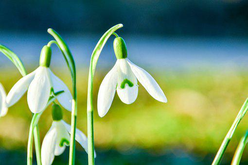 Snowdrop, Flowers, Plant, Petals, White Flowers, Bloom