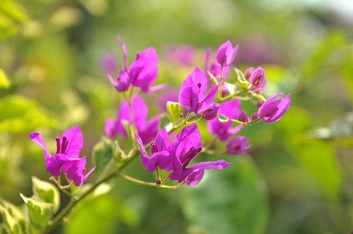 Bougainvillea, Flowers, Branch, Petals, Leaves