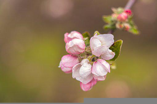 Apple Blossoms, Flowers, Branch, Petals, Buds