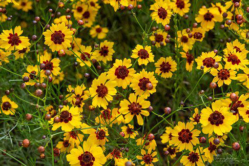 Coreopsis, Bloom, Flowers, Summer, Nature