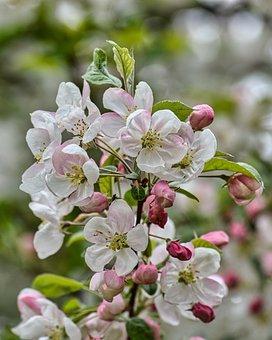 Apple Blossom, Flowers, Branch, Petals, Buds
