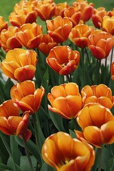 Tulips, Flowers, Garden, Petals, Bloom