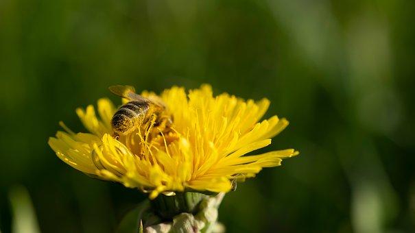 Bee, Insect, Dandelion, Honey Bee, Pollination, Pollen