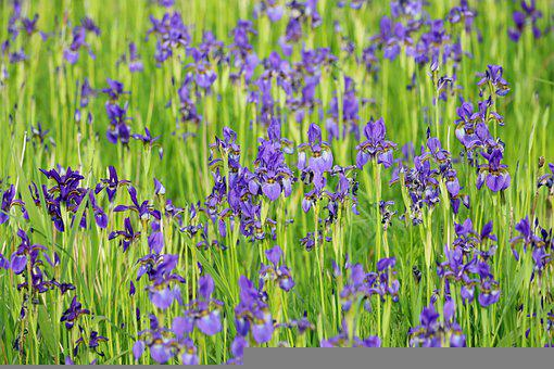 Iris, Flowers, Field, Blue Flag, Blue Flowers, Petals