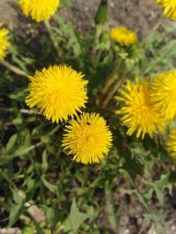 Nature, Dandelions, Bloom
