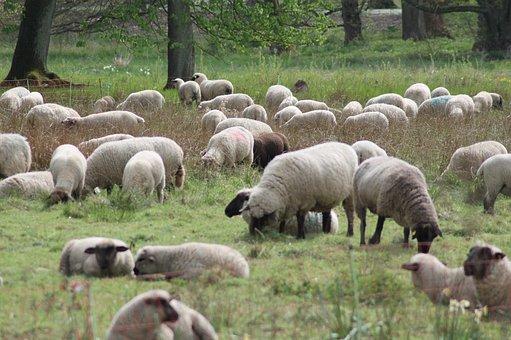 Sheep, Flock, Flock Of Sheep, Pasture, Meadow, Animals