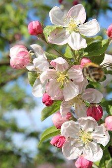 Apple Blossom, Flowers, Branch, White Flowers, Petals