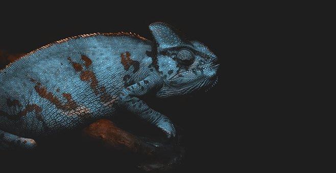 Chameleon, Lizard, Reptile, Wildlife, Exotic, Animal