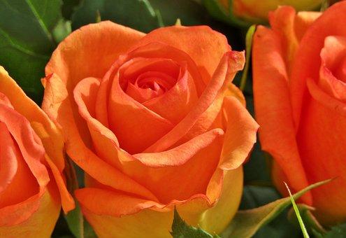 Rose, Orange, Salmon Color, Close Up, Flower, Blossom