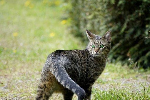 Cat, Feline, Mackerel, Striped, Active, Predator