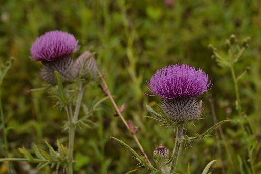 Burdock, Flowers, Plant, Purple Flowers, Thistle, Bloom