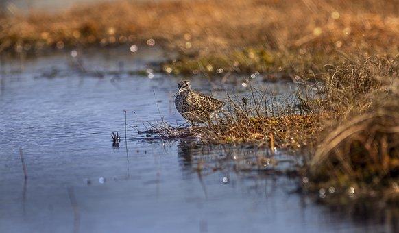 Wood Sandpiper, Tringa Glareola, Water Bird, Swamp