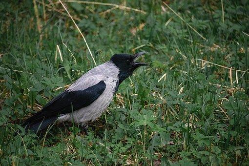 Crow, Crows, Birds, Beak, Bird, Wild, Raven, Nature