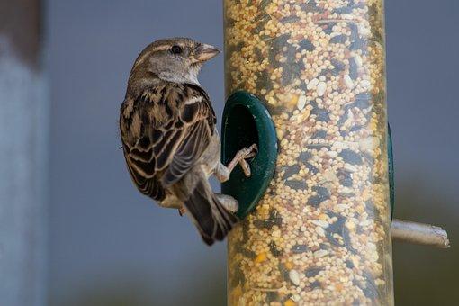 Sparrow, Bird, Brown, Animal, Nature, Avian, Wildlife