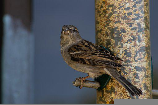 Sparrow, Bird, Brown, Animal, Nature, Avian, Wildlife