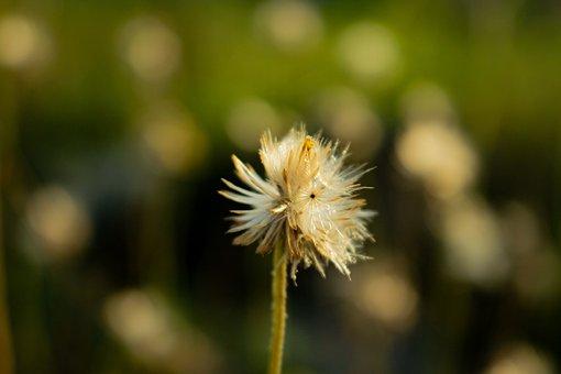 Flower, Seeds, Seedhead, Tridax, Coatbuttons, Blowball