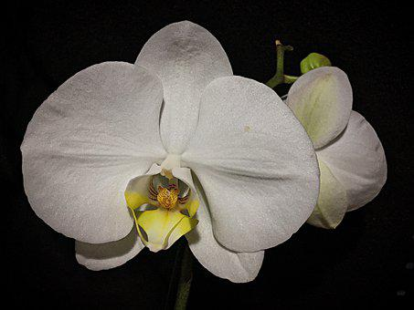 Flower, Orchid, Petals, White Orchid, Phalaenopsis