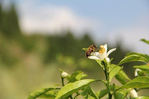 Citrus, Bee, Flowers