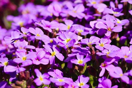 Flowers, Phlox, Cushion Phlox, Violet, Pink