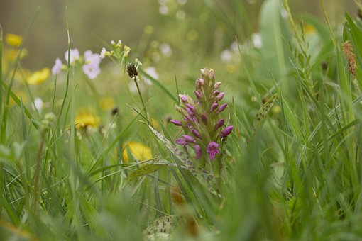 Flowers, Grass, Orchid Meadow, Orchid, Spring, Violet