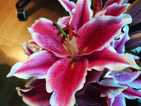 Lilium, Indoor, Plant