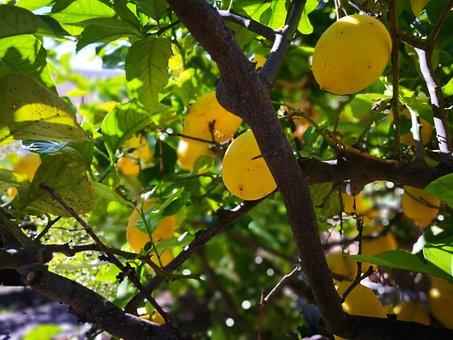Lemon Tree, Under Plant, Italy