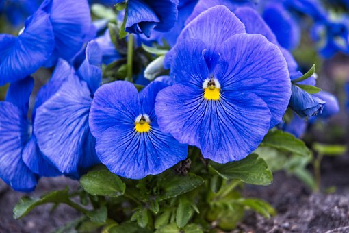 Nature, Spring, Picnic, Blue, Pansy, Flowers, Garden