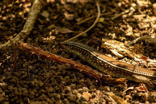 Skink, Reptile, Lizard, Exotic, Scales, Brown, Scale