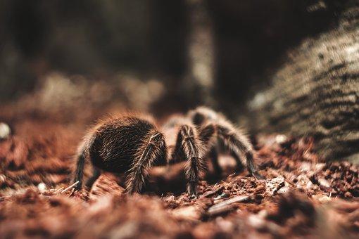 Spider, Tarantula, Terrarium, Arachnid, Hairy, Exotic